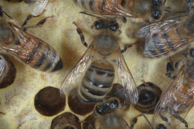 Apis mellifera workers