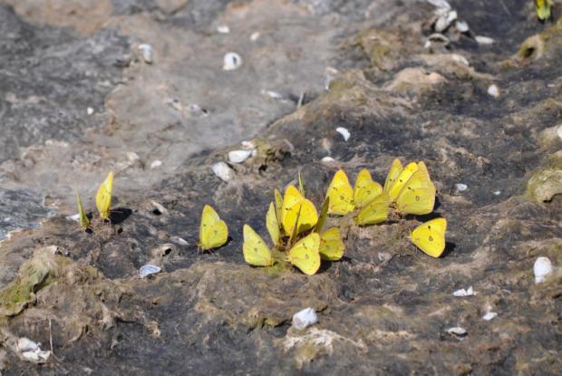 Colias philodice