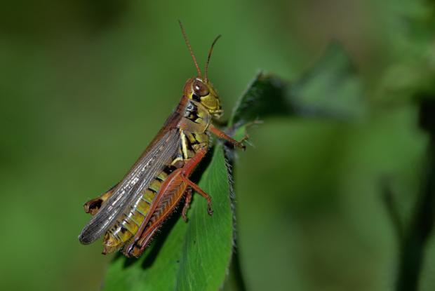 Marsh meadow grasshopper (short-winged brown grasshopper)