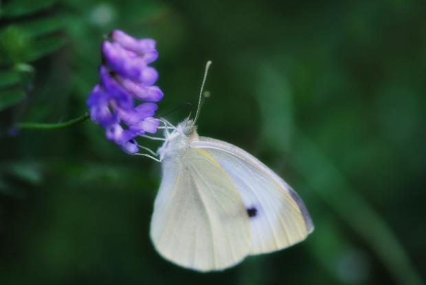 Pieris rapae