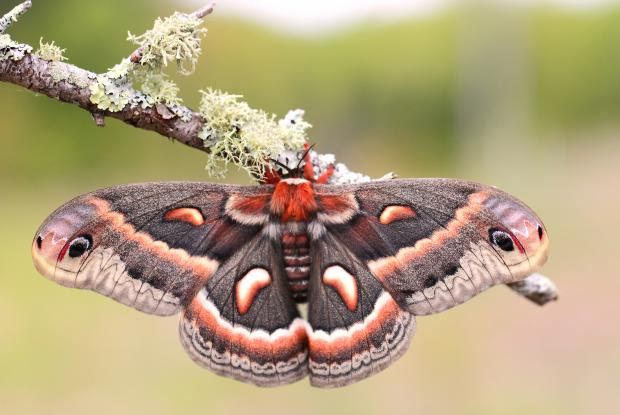 Hyalophora cecropia (opened wings)