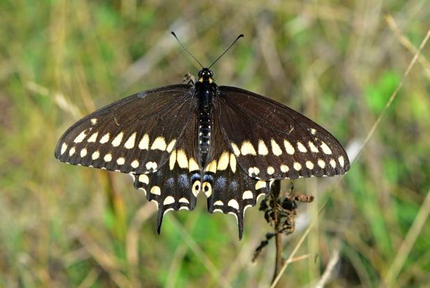 Papilio polyxenes