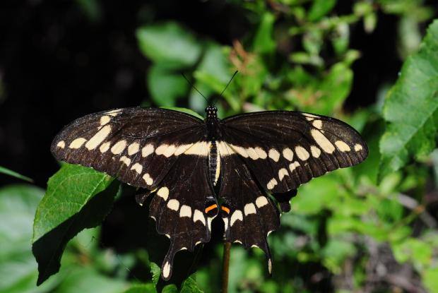 Heraclides cresphontes (opened wings)