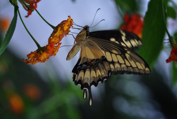 Heraclides cresphontes (ailes fermées)