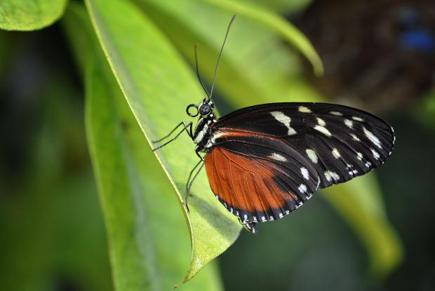 Heliconius hecale (closed wings)