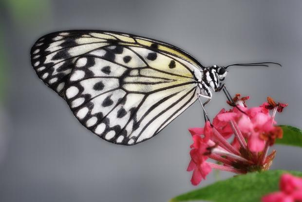 Idea leuconoe (closed wings)