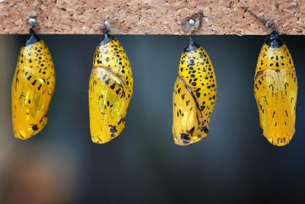 Idea leuconoe (chrysalis)