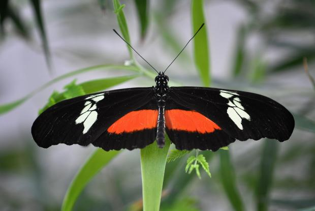 Heliconius hortense (opened wings)