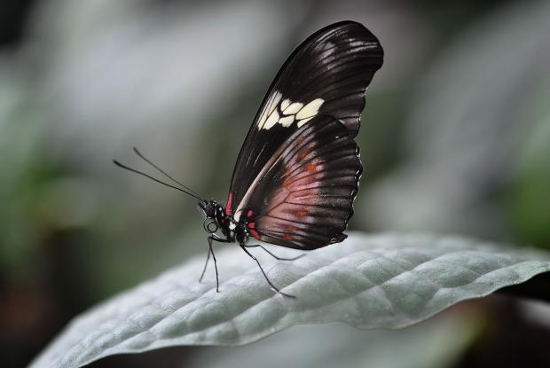Heliconius hortense (closed wings)