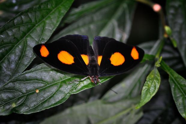 Catonephele numilia (male)