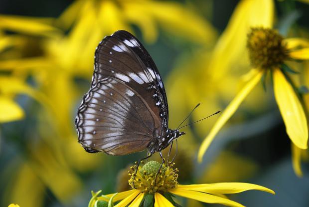 Hypolimnas bolina (closed wings)