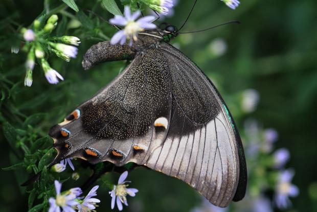 Papilio palinurus (ailes fermées)