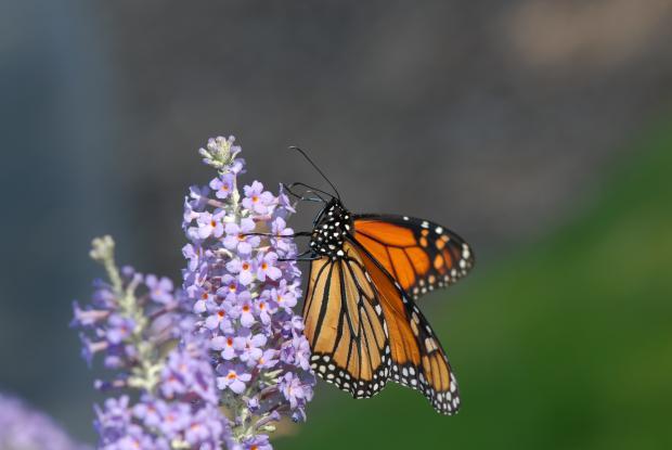 5 - Butterfly-bush