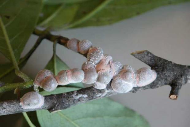 Neolecanium cornuparvum