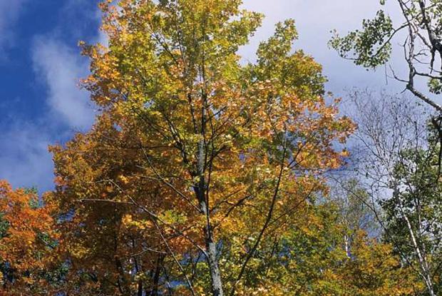 planter un erable du canada