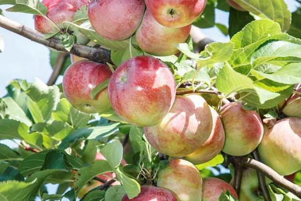 Taille des arbres fruitiers espace pour la vie - Taille arbre fruitier ...