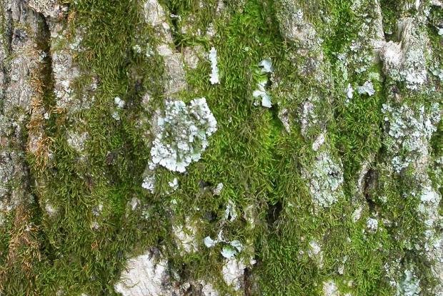 lichen and moss relationship