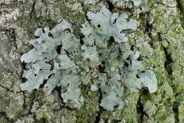 lichens et arbres espace pour la vie. Black Bedroom Furniture Sets. Home Design Ideas