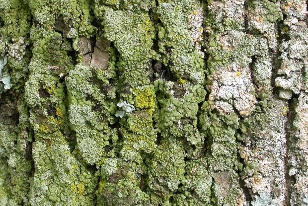 Lichen sur tronc d'arbre