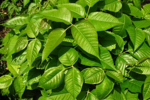 Herbe à la puce (Toxicodendron radicans) - Feuillage estival