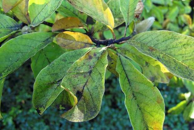 Fumagine sur feuilles de Magnolia sp.