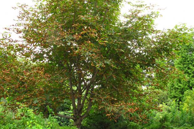Brûlure des feuilles du marronnier