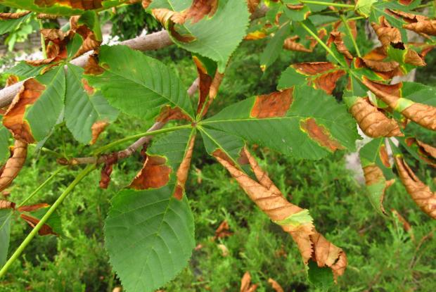 Br lure des feuilles du marronnier espace pour la vie - Maladie des arbres fruitiers ...