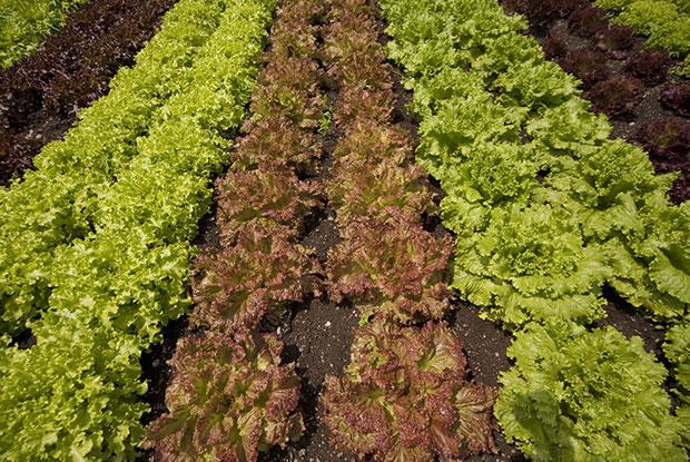 Rows of lettuce in a vegetable patch.