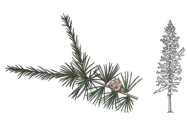 Larix laricina
