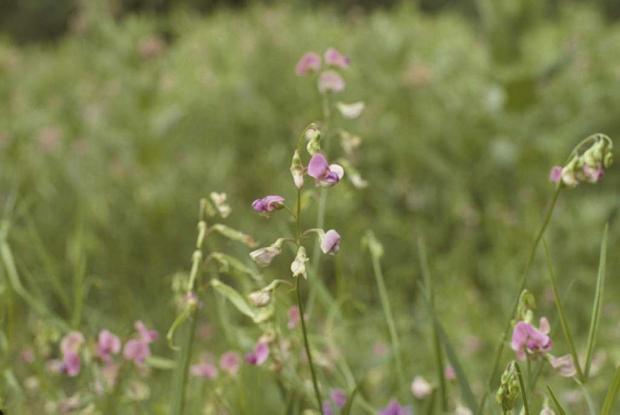 Lathyrus latifolius.