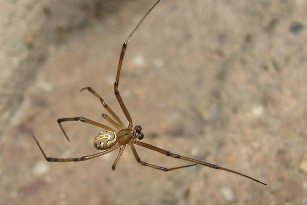 Western black widow spider | Space for life