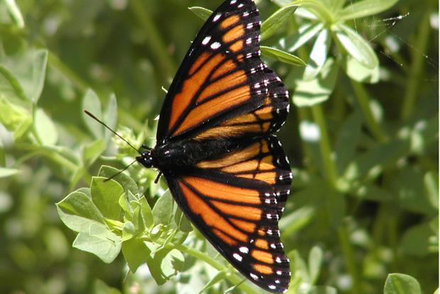 Lepidoptera, Limenitis archippus, Québec, Canada.