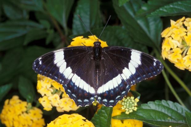 Limenitis arthemis arthemis, Québec, Canada.