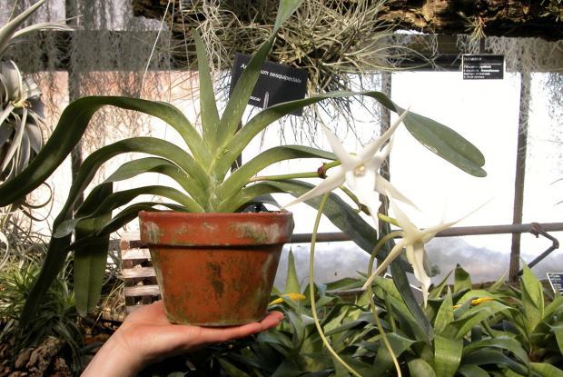 Angraecum sesquipedale (monopodial)
