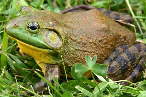 a study of the north american bullfrog When a bullfrog is stretched to its full length, it may measure up to 6 inches,  making it the largest frog in north america native to the eastern and central  united.