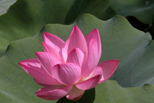 Lotus d'Oient (Nelumbo nucifera)