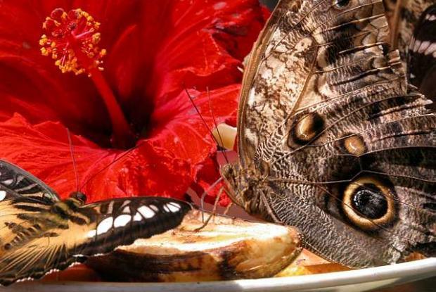 Papillons en liberté à la grande serre d'exposition