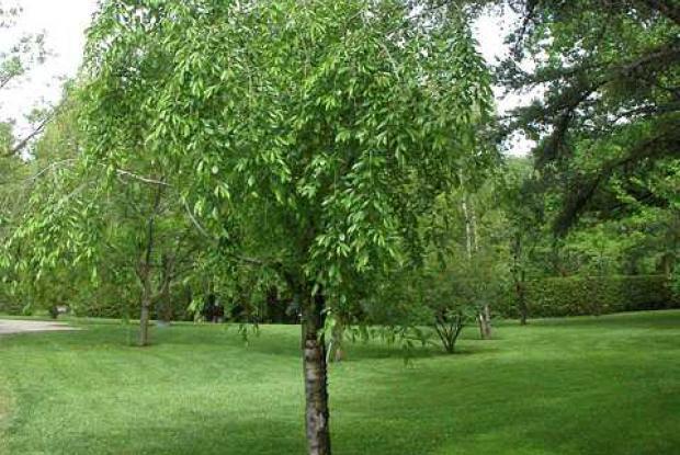 Jeunes arbres formation espace pour la vie - Quel arbre pour petit jardin ...