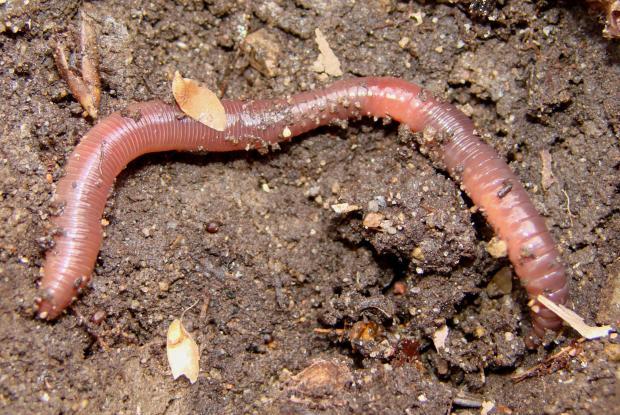 Earthworm, Québec, Canada.