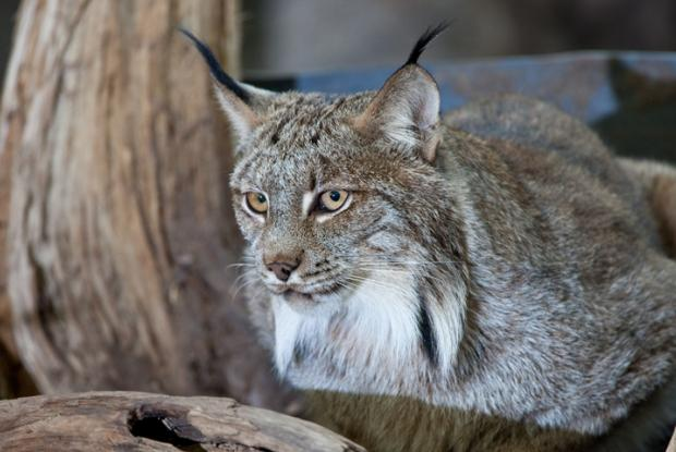 canada lynx space for life