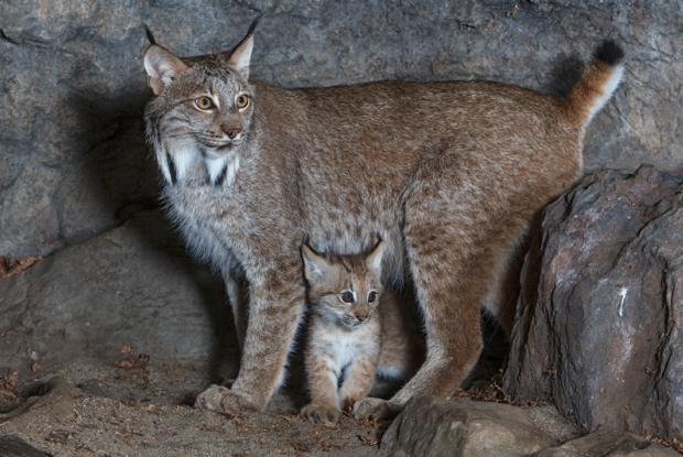 Species Lynx