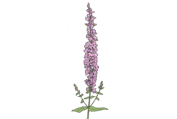 Purple loosestrife, spiked loosestrife   Space for life