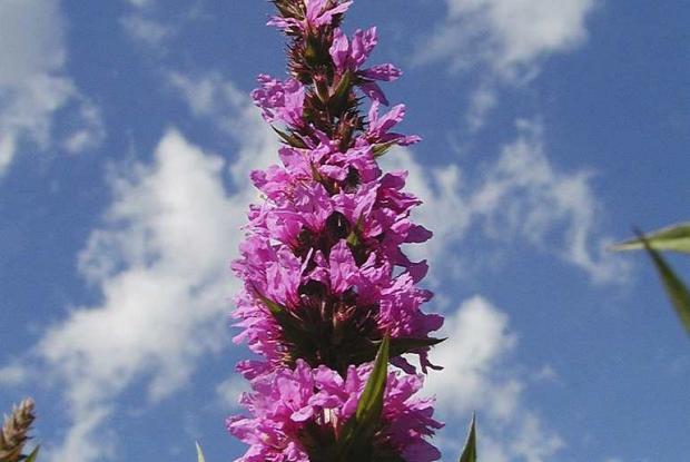 Lythrum salicaria.