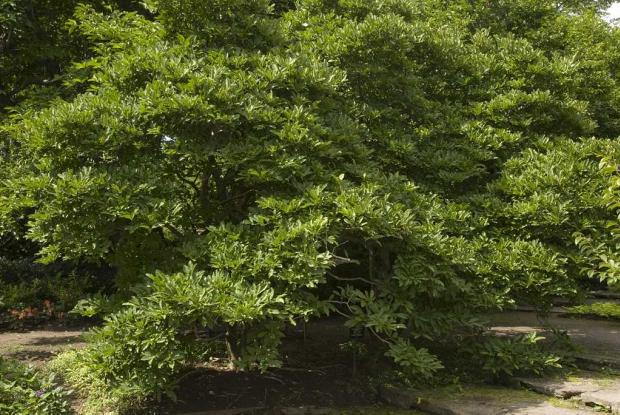 Magnolia stellata 'Royal Star'