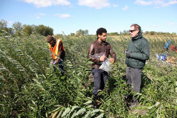 Marc St-Arnaud et ses collègues échantillonnent des saules utilisés pour la phytoremédiation de sols contaminés par des hydrocarbures à Varennes.