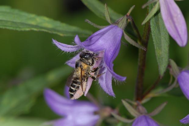Megachile frigida.