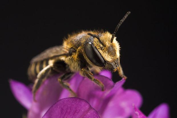Megachile rotunda.