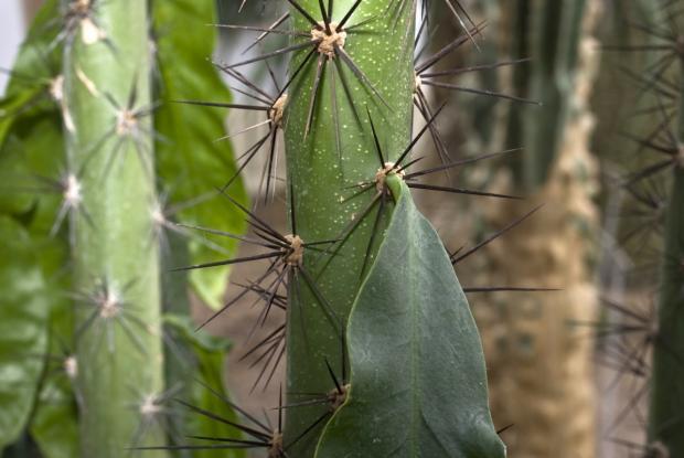 Pereskia-grandifolia -michel_tremblay_mt0033929.jpg
