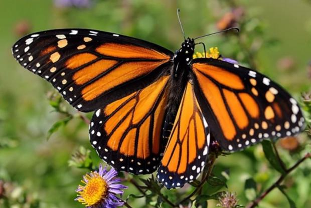 "Montréal First ""Monarch-Friendly City"" in Canada to Receive GOLD Certification"