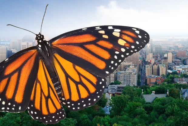 Engagement pour la sauvegarde du monarque – Ville de Montréal